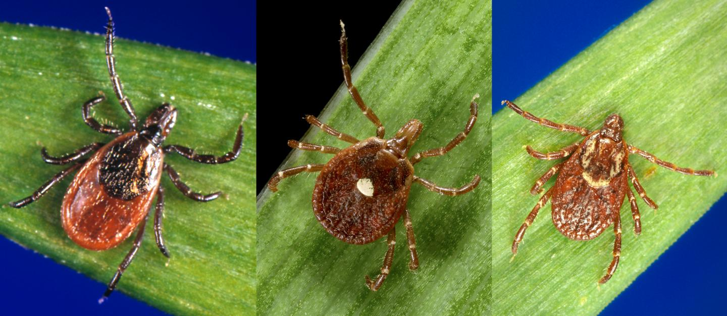 Images of ticks